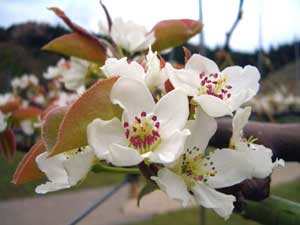 【4月】 梨の花が咲き始め