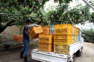【9月】 梨の収穫