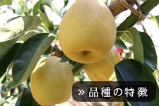 王秋梨(おうしゅうなし)