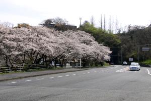 鳥取砂丘トンネル入口の桜が満開です!