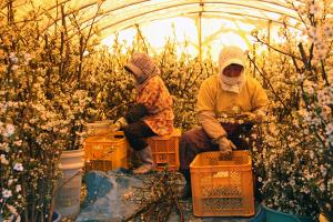 ビニールハウスに入れ加温し早めに開花させます