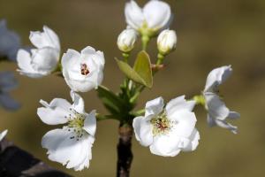 鳥取県オリジナル品種【新甘泉】の花