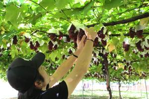 デラウェア収穫 2