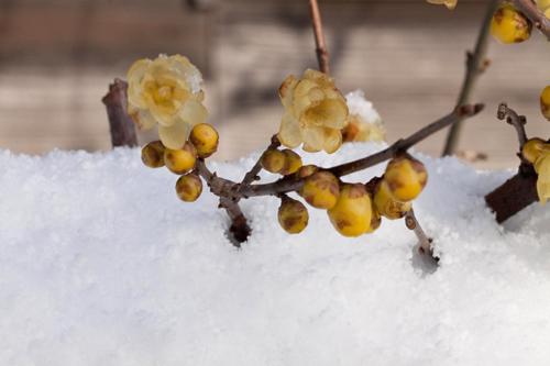 蝋梅の開花