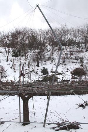 梨園の雪害 1