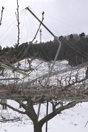 梨園の雪害 2