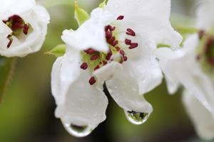 梨の花 3