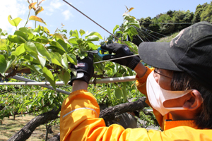 梨の摘果作業 1