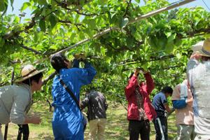 梨の小袋掛け体験作業 2