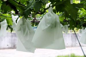 ぶどう(藤稔)の袋掛け 4