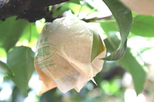 二十世紀梨も玉太り良く、みずみずしい梨になりました