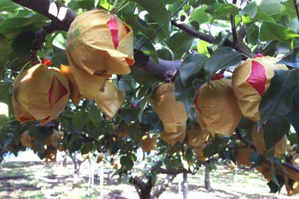 今年の新興梨は玉太りが良いようです。