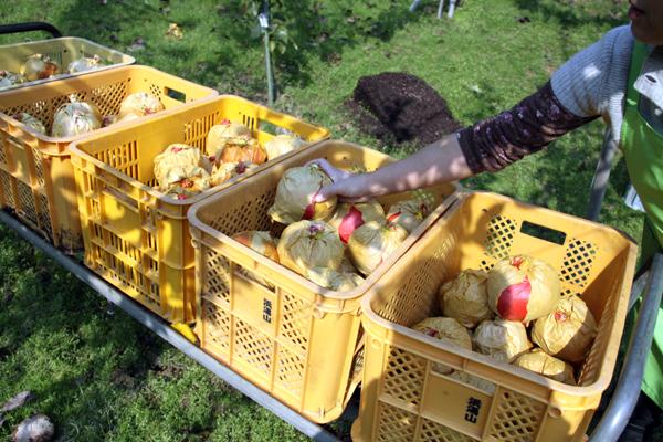 愛宕梨(あたご)の収穫