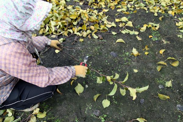 花芽の葉を取り除いてます