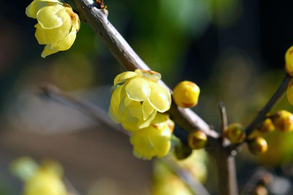 蝋梅が開花しました
