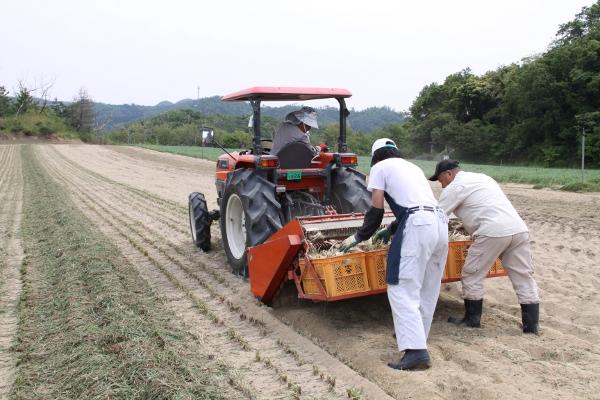 砂丘らっきょうの収穫