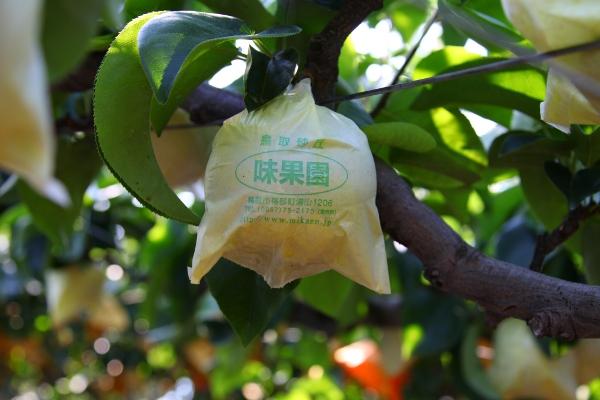 初収穫直前の早生梨