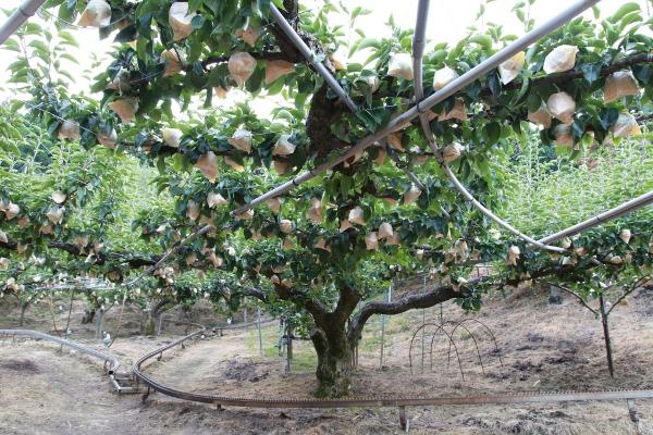 最長寿の二十世紀梨