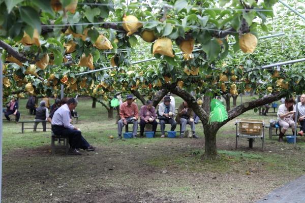 新高梨と新興梨の梨狩り