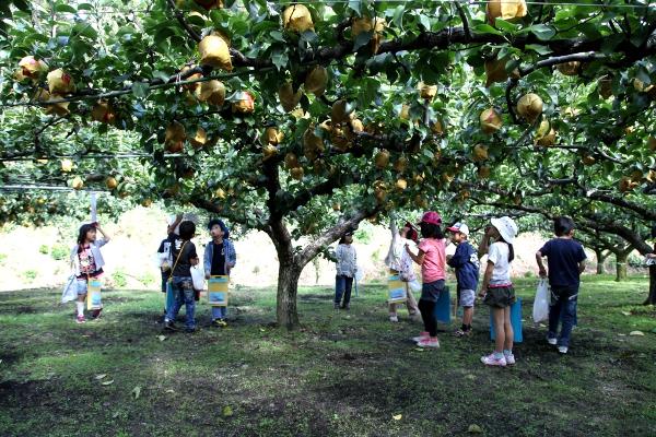 小学生の梨狩り