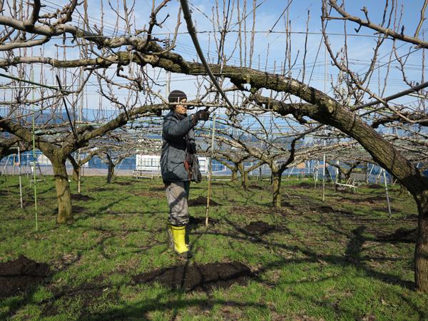 梨の剪定作業を行っています。