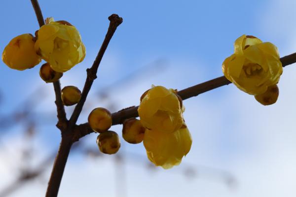 蝋梅(ろうばい)が開花しました。