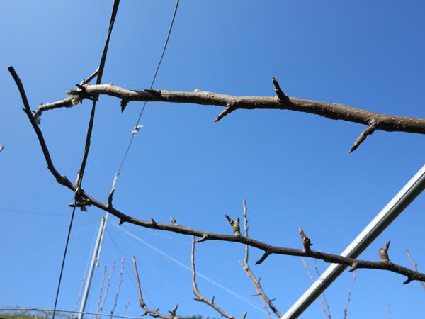 梨の剪定で切り落とした枝の収集。