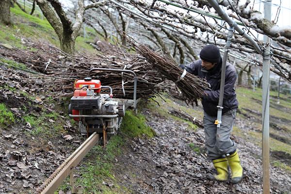 少し早めの剪定作業と枝の運び出し作業。