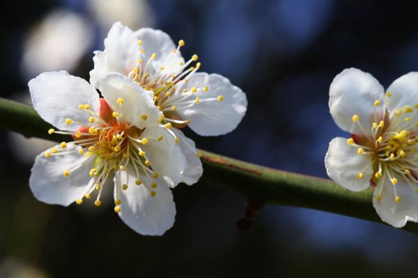 梨園に植えている梅の花が咲きました。