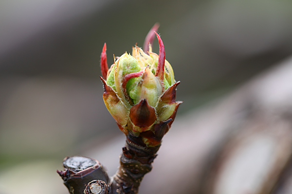 今年の梨の生育は、ずいぶん早そうです。
