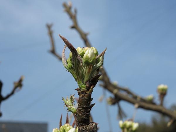 梨の つぼみ