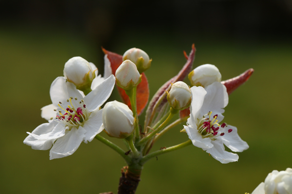 梨の花が開花しました。