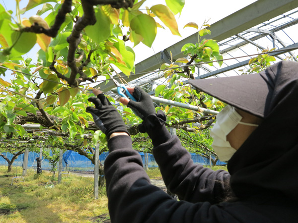 新興梨の摘果作業