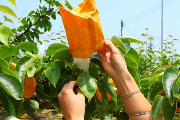 二十世紀梨の大袋掛け作業