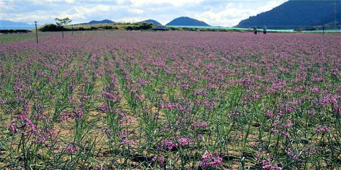 らっきょう畑 【らっきょうの花】
