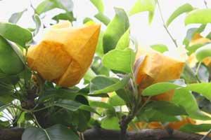 二十世紀梨の袋掛3