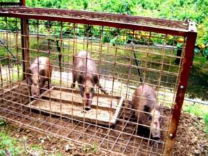 梨園で猪捕獲