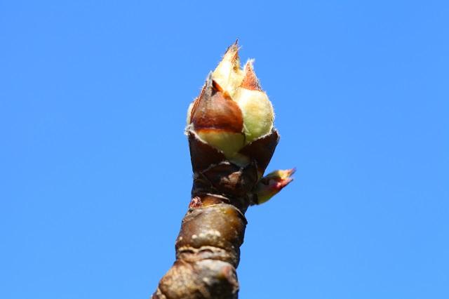 二十世紀梨 花芽