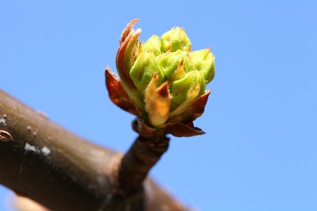 2014.3.28 二十世紀梨花芽
