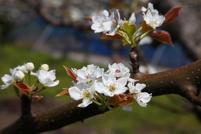 新興梨の花2014年4月8日