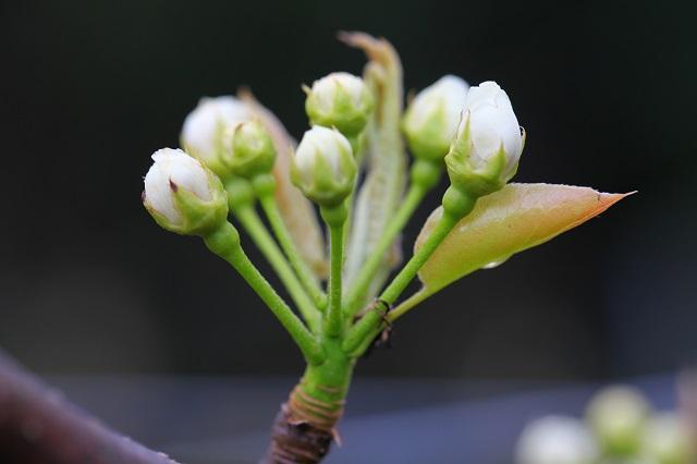 新甘泉つぼみ2014年4月6日