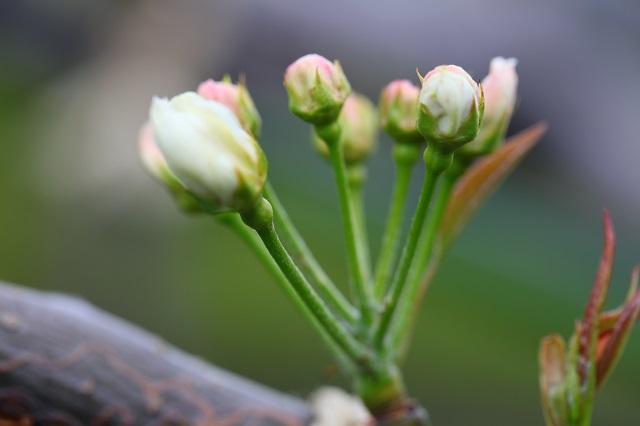 幸水つぽみ2014年4月6日