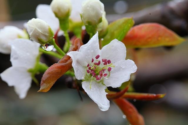 二十世紀梨雨天の花