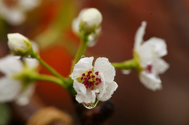 新甘泉雨天の花