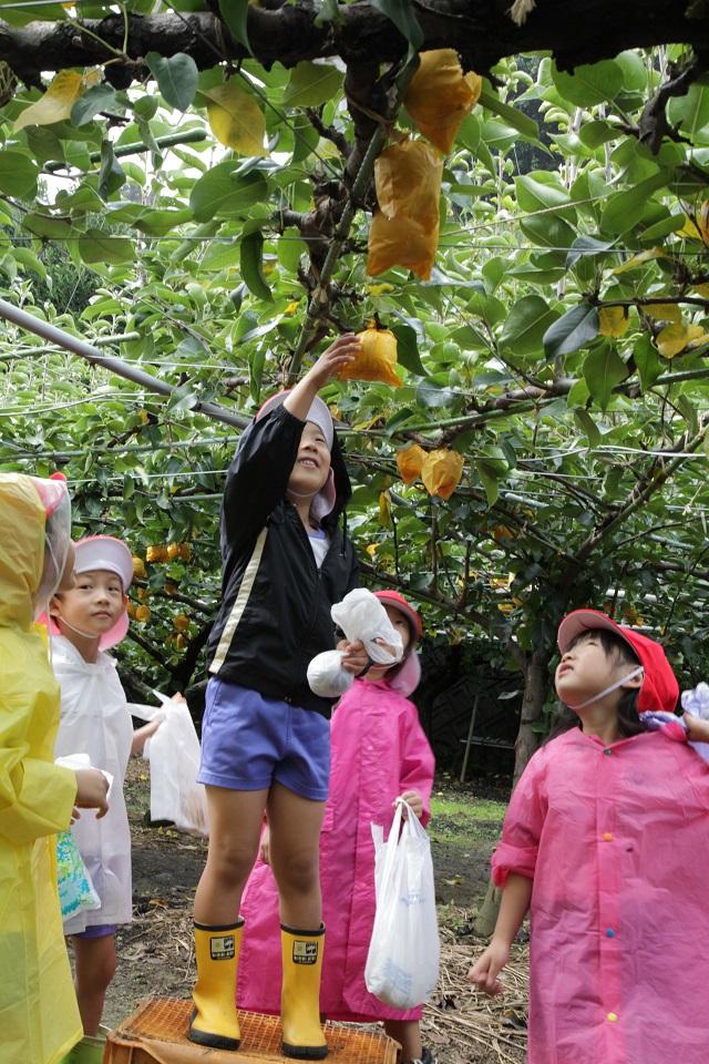 幼稚園梨狩り2