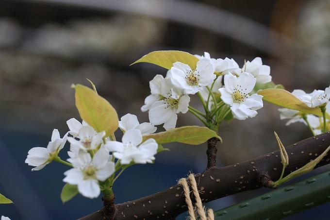 新甘泉の花2017