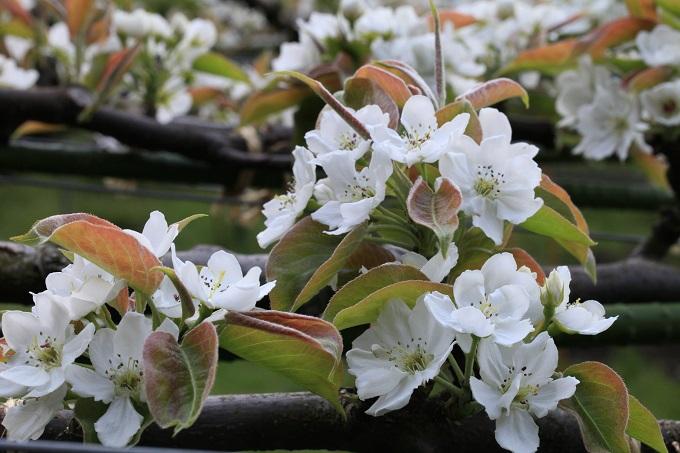2017二十世紀梨の花