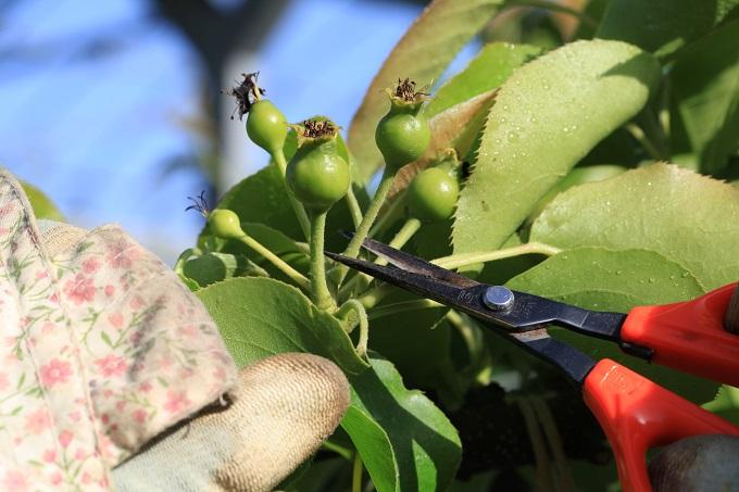 2017梨の摘果作業