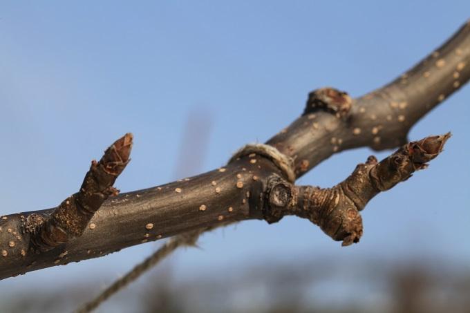 二十世紀梨花芽