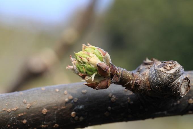 りんぼうゆるみ期二十世紀梨の花芽2018